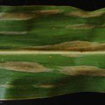 01 Síntomas del Tizón común del maíz, causado por Exserohilum turcicum. Autor: Dirceu Gassen