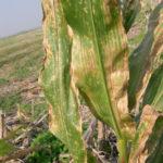 01 Mancha ocular, causada por Kabatiella zeae en maíz. Dpto. Paraná, Entre Ríos, 2005. Autor: Ing. Angela Norma Formento.