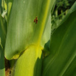 01 Pústula uredosórica de la Roya Común del maiz, causada por Puccinia sorghi. Autor: Ing. Mg. Francisco Sautua