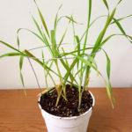 Planta de cebada inoculada con B. sorokiniana