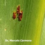 02 Pustula uredosórica de roya común del maiz (P. sorghi). Autor: Dr. Marcelo Carmona