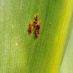 03 Pústulas uredosóricas de la Roya Común del maiz, causada por Puccinia sorghi. Autor: Ing. Mg. Francisco Sautua