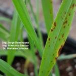 04 Síntomas foliares en plantas de cebada variedad Shakira inoculadas con Bipolaris sorokiniana.