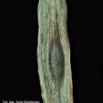 04 D. teres f. maculata, con  lesiones circulares o elípticas marrón oscuro (tipo en mancha redonda u oval)