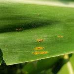 04 Pustulas uredosórica de roya común del maiz (P. sorghi). Autor: Dr. Marcelo Carmona
