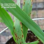 05 Síntomas foliares en plantas de cebada variedad Shakira inoculadas con Bipolaris sorokiniana.