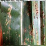 06 Control químico de roya común del maíz, causada por Puccinia sorghi, Maíz Tardío, Híbrido DK 6910 VT3 RIB, Fecha siembra 10/12/17, Sancti Spiritu, Santa Fe. Aplicaciones de Fungicidas (estrobilurina + triazol) en V12/13 (08/02/2018). Autor: Ing. Jonatan Damiani