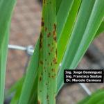 07 Síntomas foliares en plantas de cebada variedad Shakira inoculadas con Bipolaris sorokiniana.