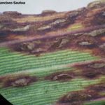 09 Uredosoros de la roya de la hoja de la cebada (Puccinia hordei).