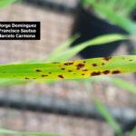 09 Síntomas foliares en plantas de cebada variedad Shakira inoculadas con Bipolaris sorokiniana.