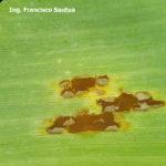 13 Pústulas uredosóricas de la Roya Común del maiz, causada por Puccinia sorghi. Autor: Ing. Mg. Francisco Sautua