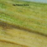 18 Esporulación (conidios en conidiófoross libres) de Drechslera teres en hoja de cebada, variedad Shakira.