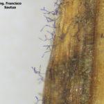 22 Conidios en conidióforos libres de Drechslera teres en hoja de cebada, variedad Shakira.