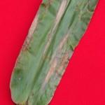 Exserohilum turcicum (Pass.) K.J. Leonard & Suggs; Tizón o Helmintosporiosis