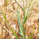 Ramularia collo-cygni B. Sutton & J. M. Waller; Ramulariosis o salpicado necrótico de la Cebada