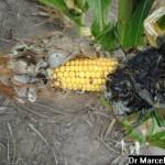 Ustilago maydis (DC.) Corda; Carbón de la espiga del maíz