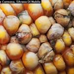 Pudrición de la espiga del Maiz (Complejo de hongos)