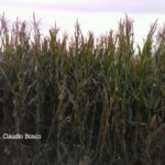 01 Falla de control de Tizón común del maíz en Gálvez, SF, Campaña agrícola 16/17 (Marzo), híbrido DK7210. Rendimiento lote aplicado con fungicida 8.000 kg/ha, sector no tratado 3.000 kg/ha (63% de pérdidas). Autor: Ing. Claudio Bosco.