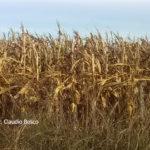 02 Falla de control de Tizón común del maíz en Gálvez, SF, Campaña agrícola 16/17 (Marzo), híbrido DK7210. Rendimiento lote aplicado con fungicida 8.000 kg/ha, sector no tratado 3.000 kg/ha (63% de pérdidas). Autor: Ing. Claudio Bosco.