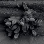 12 Clusters (racimos) de esporas (conidios) de Ramularia collo-cygni en la superficie de hoja de cebada. Observación con micrografía electrónica de barrido (Scanning Electron Microscopy, SEM). Fuente: BASF