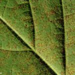 01 Uredinosoros de Phakopsora pachyrhizi en folíolos de soja. Autor: Dirceu Gassen
