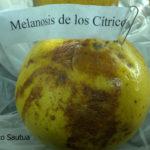 01 Melanosis (Diaporthe citri)