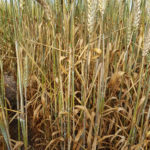 01 Síntomas y Signos de la Roya Negra o del Tallo en cultivos de trigo, Miramar, Bs As, 2017/2018. Autor: Dr. Marcelo Carmona.