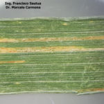 01 Roya amarilla controlada con aplicación de fungicida