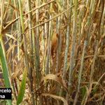02 Síntomas y Signos de la Roya Negra o del Tallo en cultivos de trigo, Miramar, Bs As, 2017/2018. Autor: Dr. Marcelo Carmona.