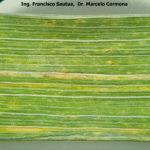 02 Roya amarilla controlada con aplicación de fungicida