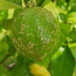 02 Síntomas de Melanosis causada por Diaporthe citri en limón.