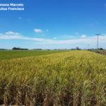 Bordura de trigo DM Algarrobo severamente afectada por Roya Amarilla. Fontezuela, 2017/2018
