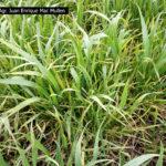 03 Plantas de trigo infectadas con Roya Amarilla, zona de Cañuelas, campaña 2017/2018, variedad Algarrobo