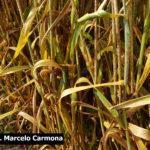 03 Síntomas y Signos de la Roya Negra o del Tallo en cultivos de trigo con ataque severo, Miramar, Bs As, 2017/2018. Autor: Dr. Marcelo Carmona.