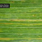 03 Roya amarilla controlada con aplicación de fungicida