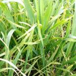 04 Plantas de trigo infectadas con Roya Amarilla, zona de Cañuelas, campaña 2017/2018, variedad Algarrobo