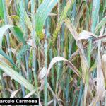 04 Síntomas y Signos de la Roya Negra o del Tallo en cultivos de trigo, Miramar, Bs As, 2017/2018. Autor: Dr. Marcelo Carmona.