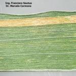 04 Roya amarilla controlada con aplicación de fungicida