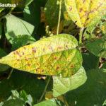 04 Síntomas foliares de la Mancha Marrón de la soja, causada por Septoria glycines. Autor: Ing. Francisco Sautua.