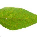 05 Síntomas de la roya de la soja, causados por Phakopsora pachyrhizi en folíolos de soja. Autor: Dirceu Gassen