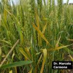 05 Síntomas y signos de Roya Amarilla en cultivos de trigo, Miramar, Bs As, 2017/2018. Autor: Dr. Marcelo Carmona.