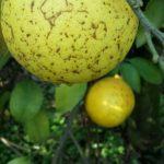 05 Fruto con Melanosis