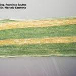 05 Roya amarilla controlada con aplicación de fungicida