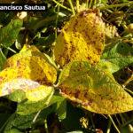 05 Síntomas foliares de la Mancha Marrón de la soja, causada por Septoria glycines. Autor: Ing. Francisco Sautua.