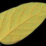06 Uredinosoros de Phakopsora pachyrhizi en folíolos de soja. Autor: Dirceu Gassen