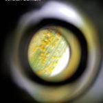 06 Deteccion de Roya amarilla en Sta Fe, variedades de trigo DM Ceibo y DM Algarrobo. Autor: Ing. Jonatan Damiani.