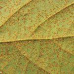 07 Uredinosoros de Phakopsora pachyrhizi en folíolos de soja. Autor: Dirceu Gassen