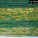 08 Uredosoros con uredosporas de P. striiformis f. sp.  tritici en hoja de trigo  variedad DM Algarrobo, Pergamino, Bs As, z39, 01 Octubre 2018. Autores: Ing. Diego Alvarez, Ing. Francisco Sautua, FAUBA.