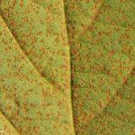 08 Uredinosoros de Phakopsora pachyrhizi en folíolos de soja. Autor: Dirceu Gassen