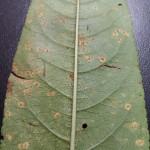 Roya del duraznero (Tranzschelia discolor f.sp. pérsica)